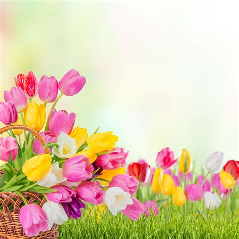 imagenes tulipanes rosas banco de im 193 genes tulipanes cascadas flores y paisajes