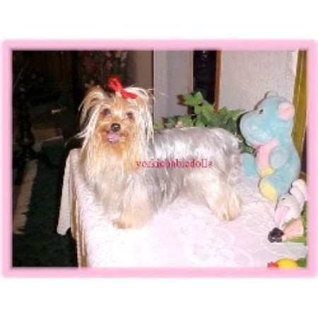 free puppies in fort smith arkansas yorkie babie dolls terrier breeder in fort smith arkansas