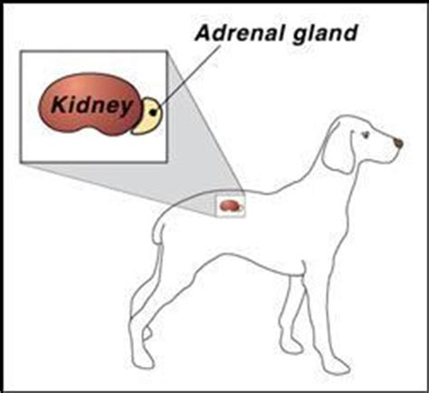 gland problems in dogs cushings disease in dogs cushings disease symptoms canine cushings disease