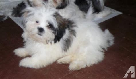shih tzu puppies for sale in chattanooga tn awesome shih tzu pup for sale in kingston tennessee