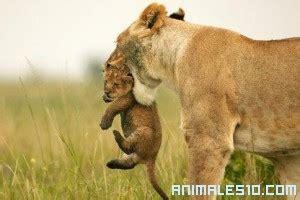 imagenes de leones solitarios leones salvajes en familia