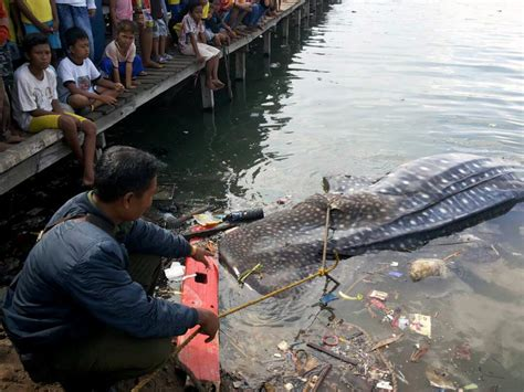 terdar di perairan gresik hiu paus ini mati mongabay