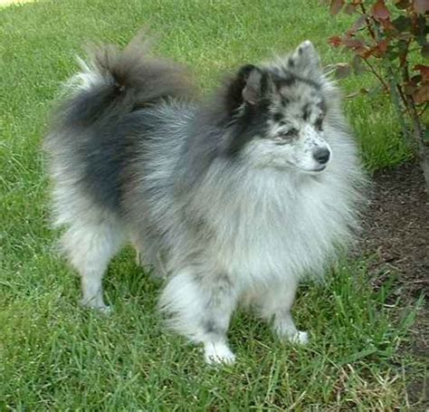 pomeranian and eskimo mix this is a pomimo an american eskimo and pomeranian mix pets i want