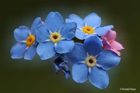 Blume Vergiss Mein Nicht 3822 by Vergissmeinnicht Fotoablage Fotoalbum
