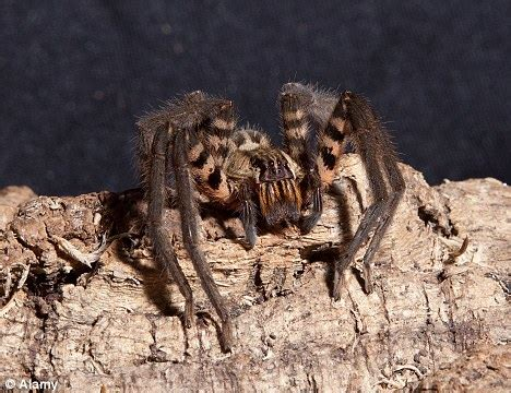 could spider venom be the next viagra daily mail online spider venom that causes four hour long erections could