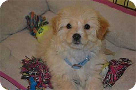 pomeranian rescue san diego sofie adopted puppy san diego ca maltese pomeranian mix