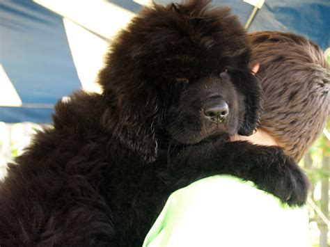 new foundland sweet newfoundland photo and wallpaper beautiful sweet newfoundland pictures