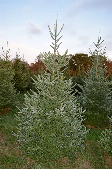 cut your own christmas tree westminster md baltimore tree farm cut your own trees montgomery md
