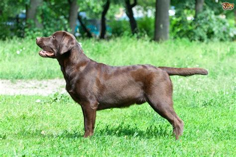 dog houses for labs labrador retriever dog breed information buying advice