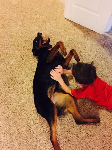 rottweiler puppies utah akc rottweiler breeders utah photo