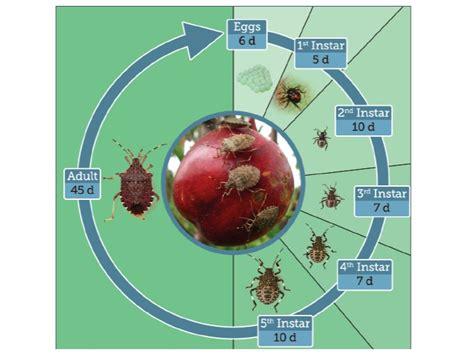 bug cycle diagram brown marmorated stink bug piedmont master gardeners