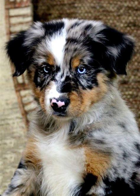 australian shepherd puppy best 25 australian shepherds ideas on australian shepherd puppies aussie
