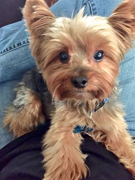 images of yorkies hair cuts 280 best yorkies images on pinterest yorkies yorkie and