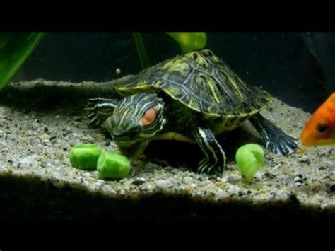 feeding frenzy: turtles, fish, algae eater, and special