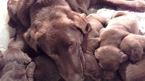 chocolate lab puppies mn labrador puppies for sale labrador puppies for sale minnesota breeds picture