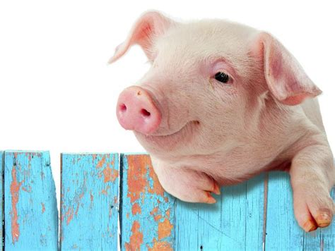 imagenes graciosas de cerdos para navidad 191 cerdos que nadan conoce la nueva moda en las bahamas