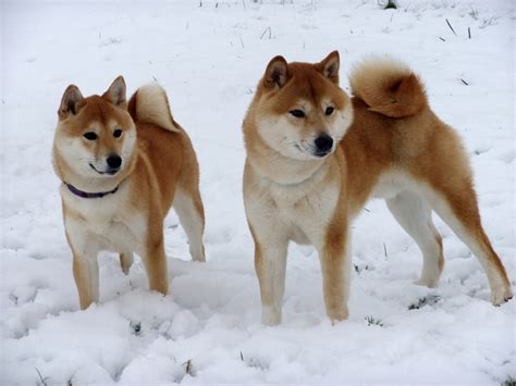puppy in japanese image gallery japanese shiba inu