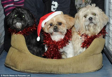 shih tzu in season the silliest stories of the season a collection of festive tales that are
