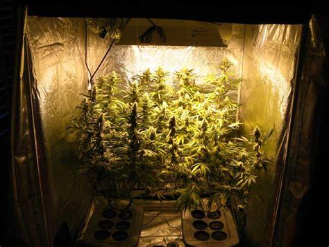 hps grow lights how to grow dense cannabis buds grow easy