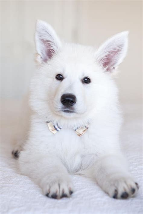 berger blanc suisse puppies for sale berger blanc suisse puppies for sale