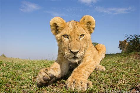 imagenes de leones increibles incre 237 bles fotos de leones con c 225 maras a control remoto