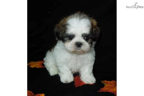 shih tzu puppies for sale st louis mo shih tzu puppy for sale near southeast missouri missouri