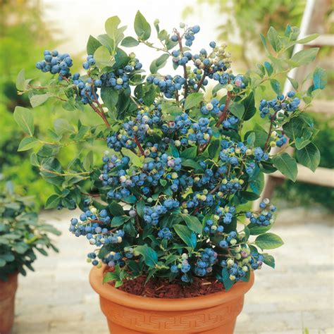 Blueberry Garden by Blueberry Plants Collection All Soft Fruit Soft