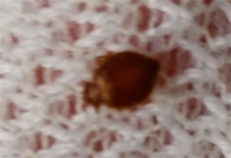 bugs in bed not bed bugs bed bug to worry or not to worry what s that bug