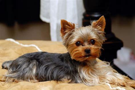 when do yorkies start barking 17 best images about morkies yorkies maltese on terrier