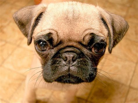 wallpapers of pugs beautiful pug pugs wallpaper 13728101 fanpop