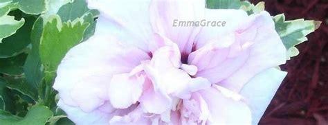rose  sharon shrub althea hibiscus syriacus america