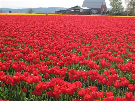 tulip field tulip fields 8772 1600x1200 px hdwallsource com