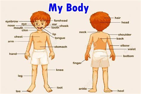 kosakata bahasa inggris anggota tubuh beserta gambar dan artinya