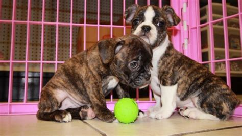 frenchton puppies for sale choice frenchton puppies for sale in at puppies for sale local breeders