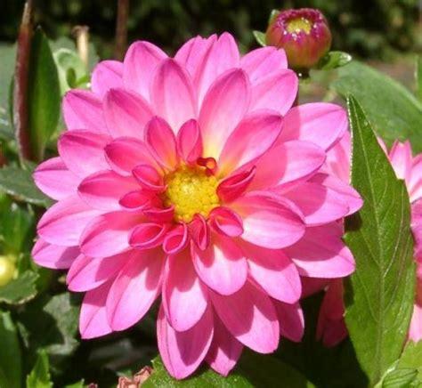 la flor de dalia laberinto lista flores nacionales latinoamericanas