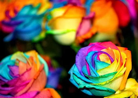 Flower Homes Rainbow Roses Pictures Of Colorful Flowers
