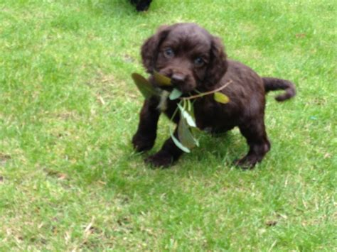 chocolate cocker spaniel puppies chocolate or black cocker spaniel puppies york pets4homes
