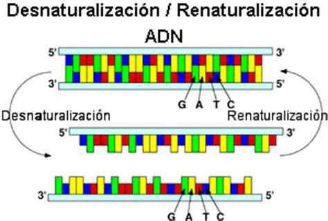 cadenas de adn complementarias problemas sobre expresi 243 n g 233 nica en eucariotas