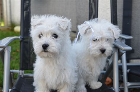 west highland terrier puppy west highland terrier puppies leter ceredigion pets4homes