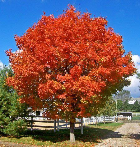 the brightest fell october 0756413311 25 best ideas about red maple tree on maple tree japanese red maple and japanese