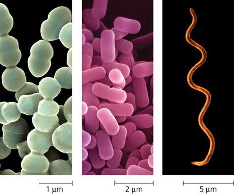 bacteria types human bacteria