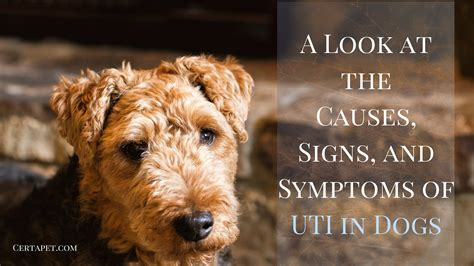 what causes uti in dogs a look at the causes signs and symptoms of uti in dogs certapet