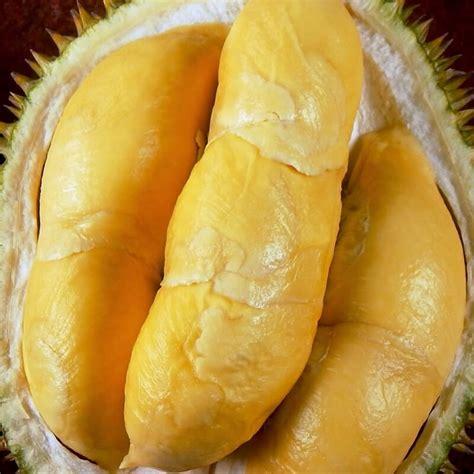 Jual Bibit Aren Unggulan new wa 0812 8560 4125 jual bibit durian pendek