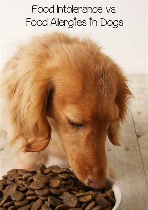 food allergies in dogs food intolerance vs food allergies in dogs what s the difference dogvills