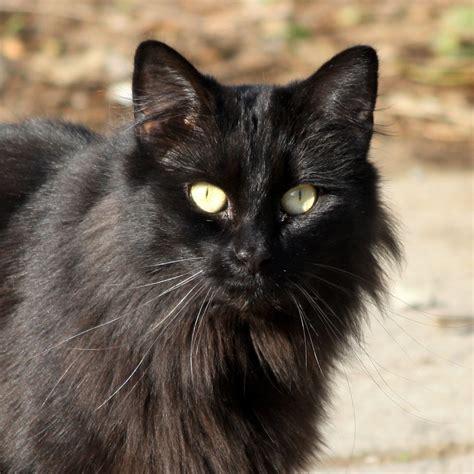 black cat black cat close up picture free photograph photos