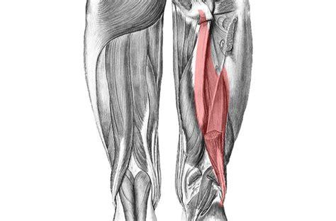 muscoli coscia interna bicipite femorale anatomia posteriore della coscia