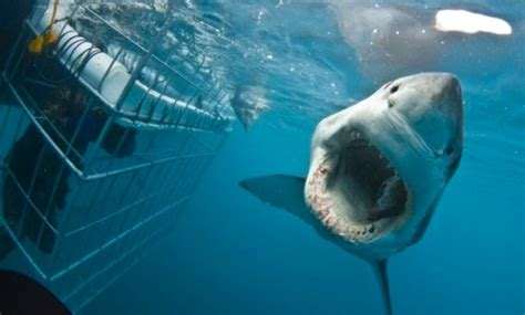 great white shark attacks cage great white shark attacks diving cage with divers inside