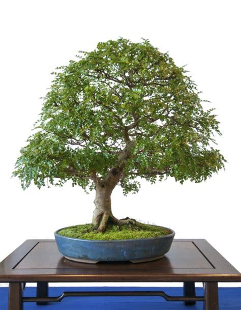 Wie Pflege Ich Einen Bonsai Baum 4451 by Der Bonsai Baum Im Interior Design Eine Kunst Verwurzelt