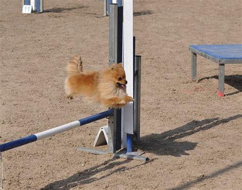 pomeranian agility pomeranian taking agility jump pomeranians pomeranians