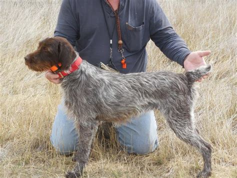 wirehaired pointing griffon puppies price shock kennels wirehaired pointing griffon litters
